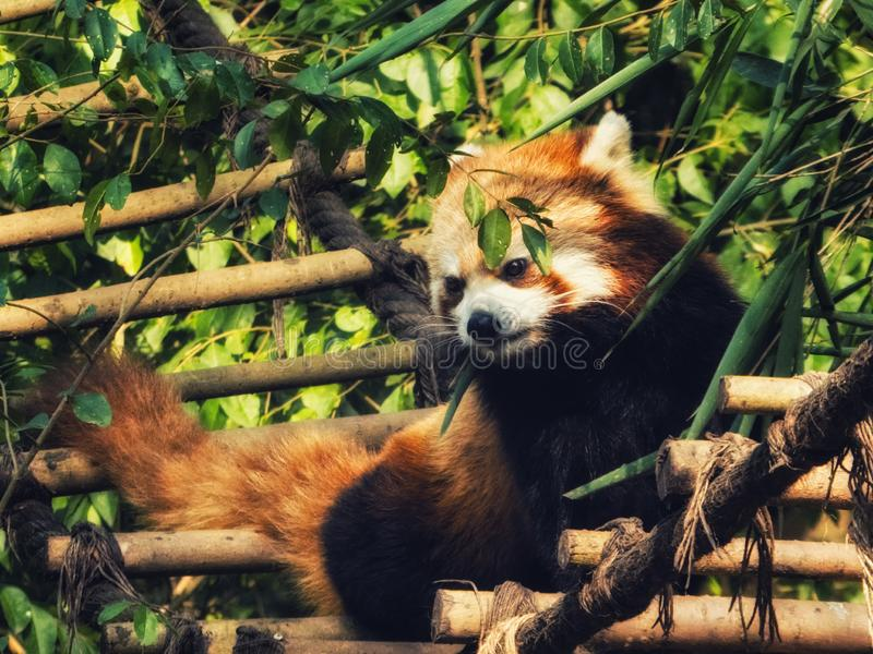 The Red Panda. Fire fox in Chengdu, China stock image
