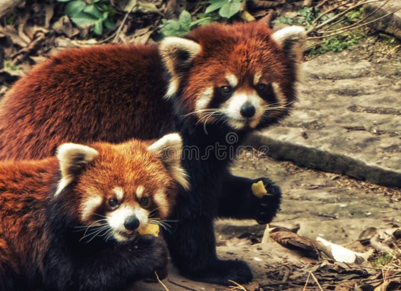 The Red Panda. Fire fox in Chengdu, China royalty free stock photo