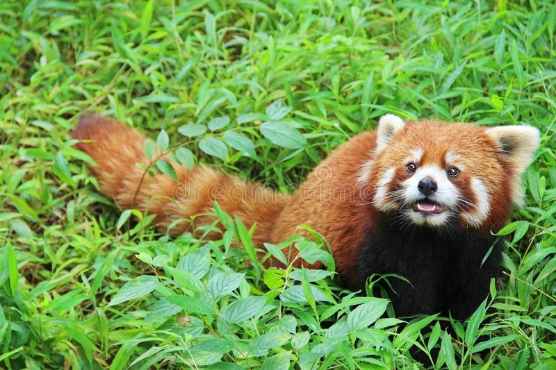 Firefox, the Red Panda in Chengdu, China. The Red Panda, Firefox in Chengdu. China royalty free stock image