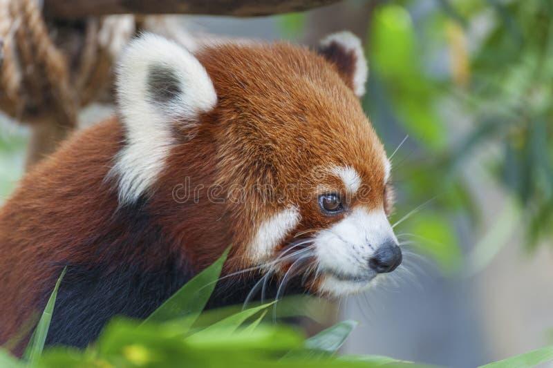 Red Panda stock foto