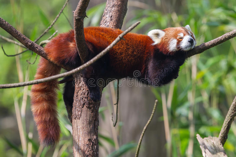 Red Panda, Firefox or Lesser Panda. (Ailurus fulgens) resting in a tree royalty free stock photo