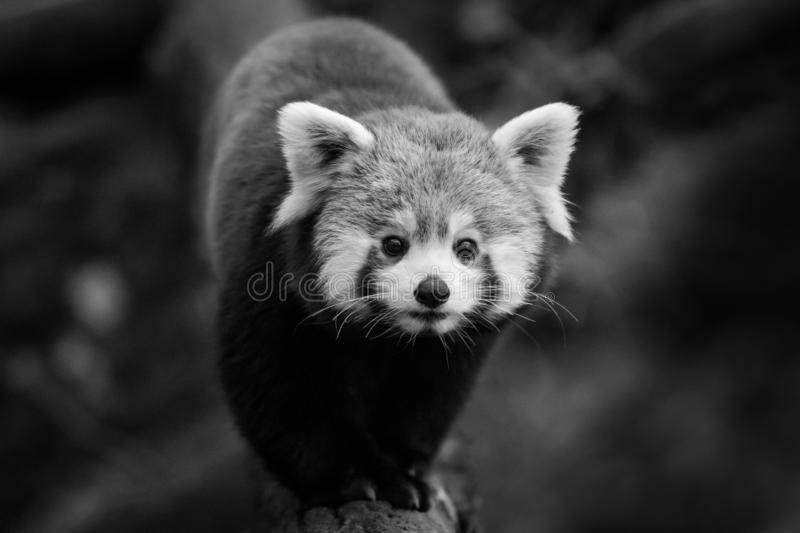 Red panda in the forest. France . Very close stock images