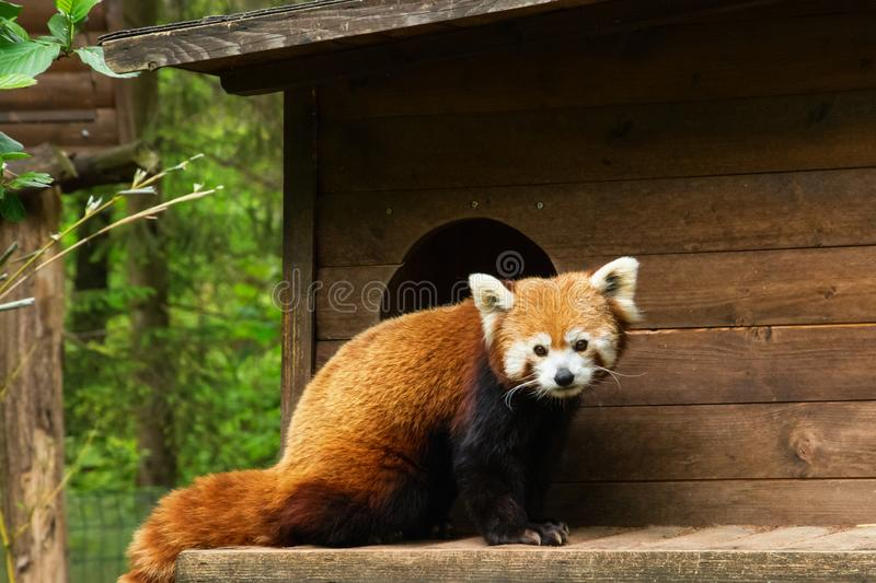 Red panda in front of a tree house. Red panda on a cloudy day in front of a tree house royalty free stock photography