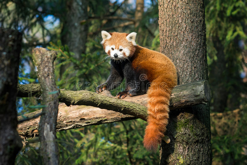 Red panda. In funny nature royalty free stock images