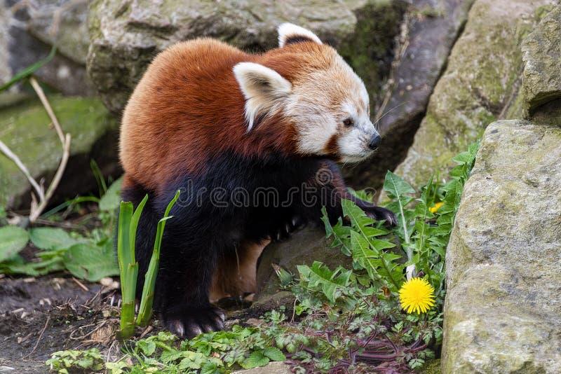 Red Panda in gevangenschap stock afbeelding