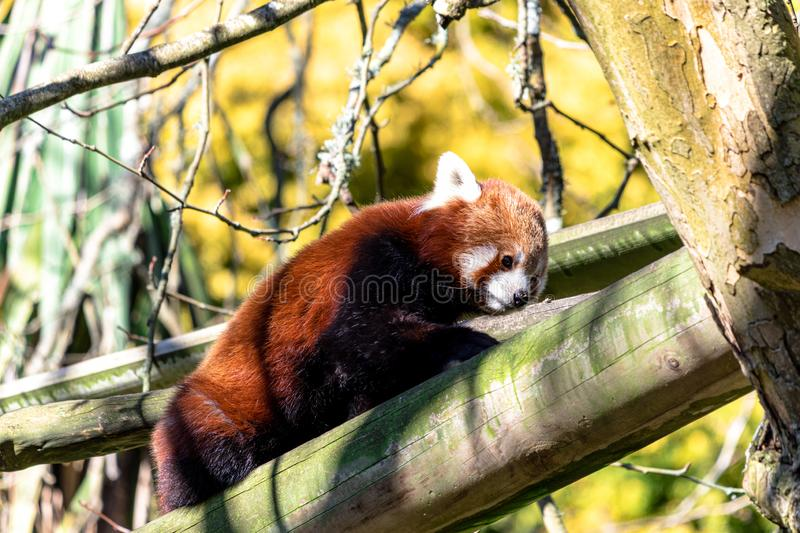 Red Panda going on an adventure in the treetops stock photos