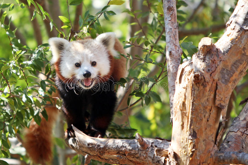 Red Panda. A gorgeous red panda creaps along a tree branch royalty free stock photography