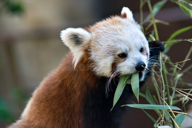 red Panda stock foto's