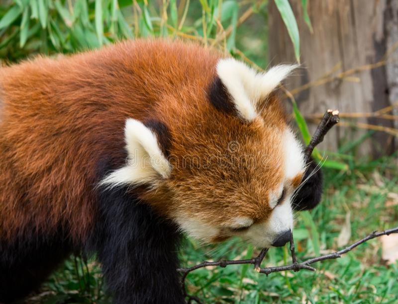 Red Panda or Lesser panda (Ailurus fulgens) gnawing a tree branch. Closeup Red Panda or Lesser panda (Ailurus fulgens) gnawing a tree branch stock photography