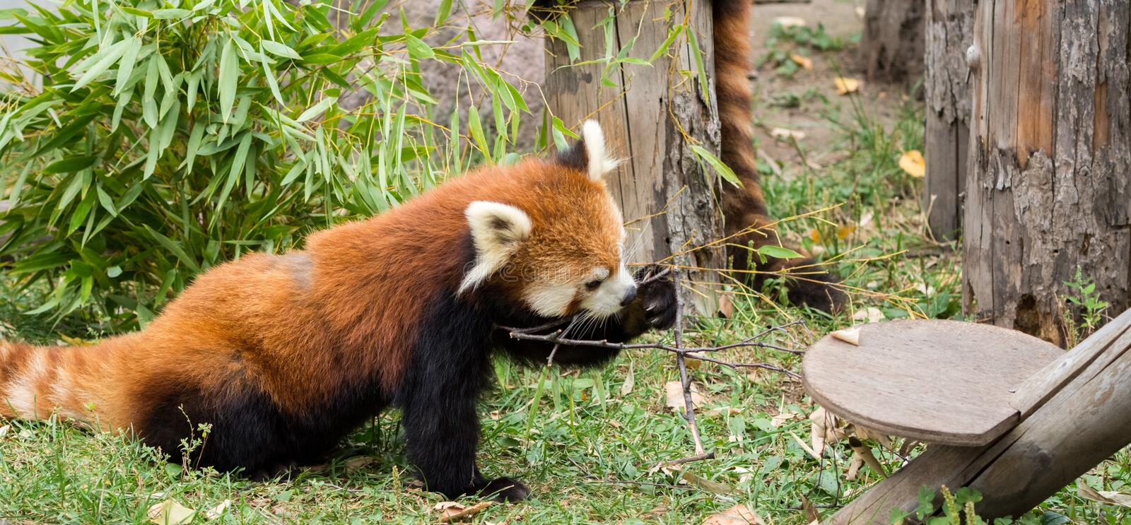 Red Panda or Lesser panda (Ailurus fulgens) gnawing a tree branch. Closeup Red Panda or Lesser panda (Ailurus fulgens) gnawing a tree branch stock photo