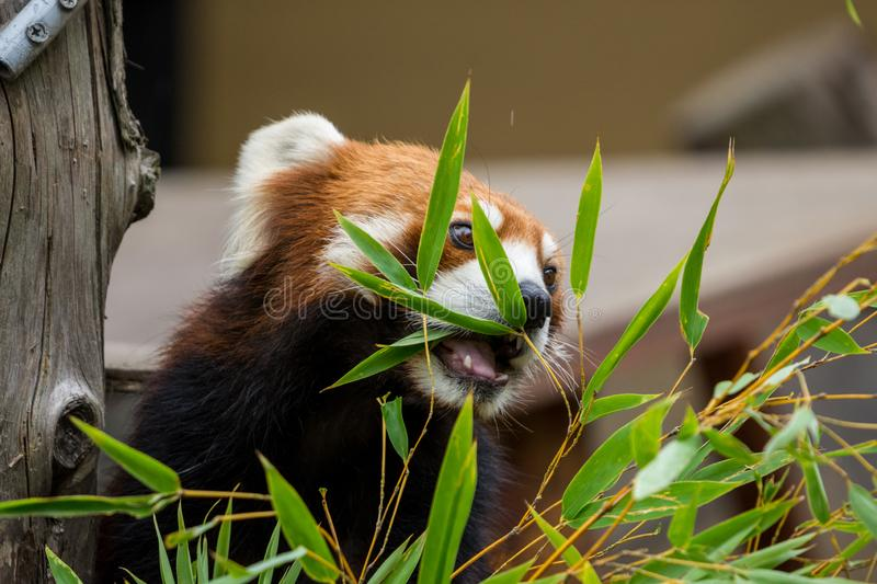 Red Panda or Lesser panda (Ailurus fulgens) gnawing bamboo leaves. Closeup Red Panda or Lesser panda (Ailurus fulgens) gnawing bamboo leaves stock photography