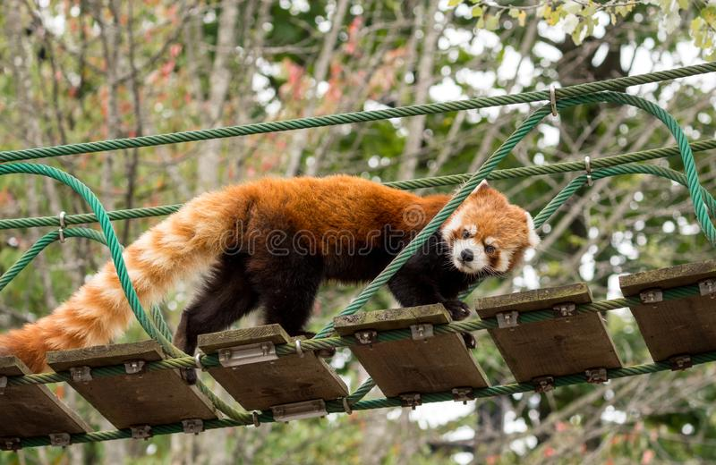 Red Panda or Lesser panda (Ailurus fulgens) on small wood rope bridge. royalty free stock images