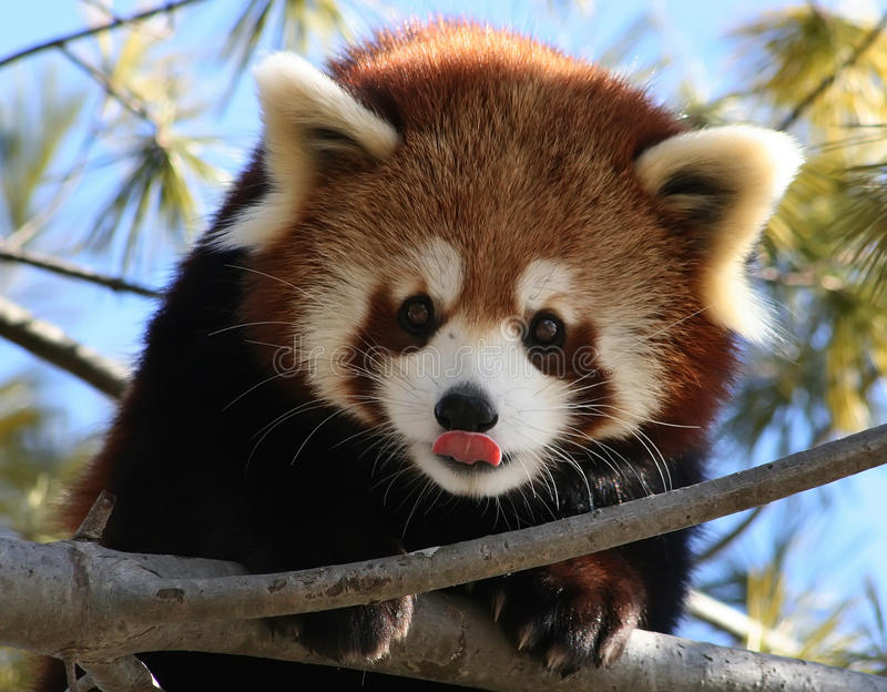 Red Panda Licking its Nose royalty free stock photos