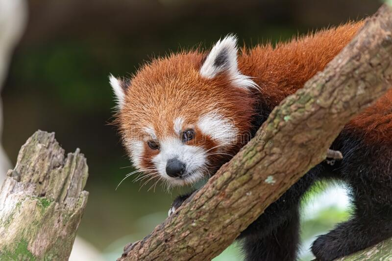 Red panda looking all cute in a tree. In a Sydney zoo stock photo