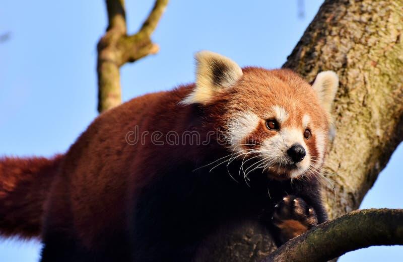 Red Panda, Mammal, Fauna, Wildlife royalty free stock photos