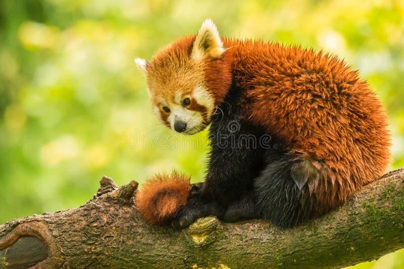 Red panda stock image