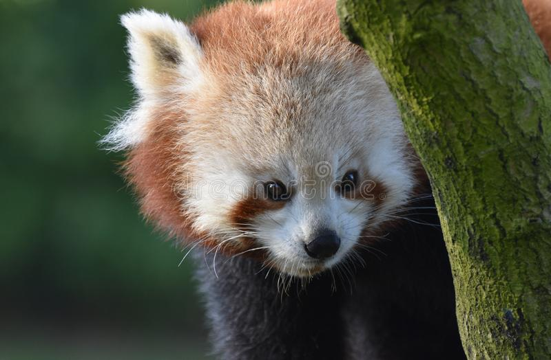 Red Panda peering around a tree branch close up. A cute red panda in a tree peers round a tree branch - close up of face and head with upper front legs also in royalty free stock images