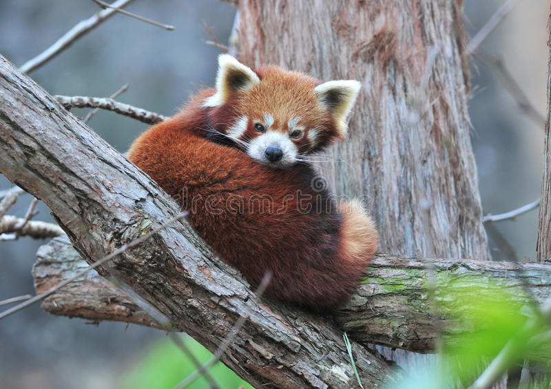 Red panda perched in tree,sichuan,southern china stock images