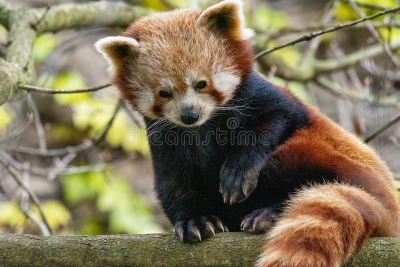 Red Panda perched up in a tree. UK, Bristol - April 2019: Red Panda perched up in a tree royalty free stock photos