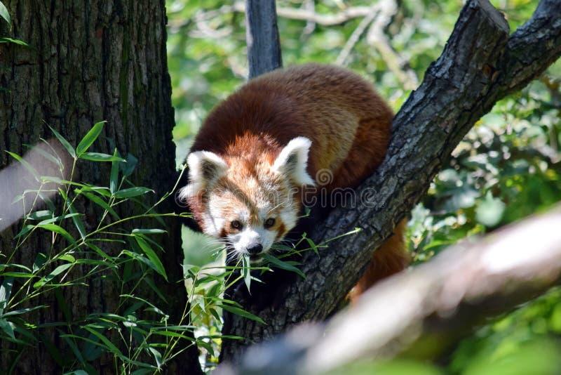 Red Panda Plant sull'albero fotografia stock