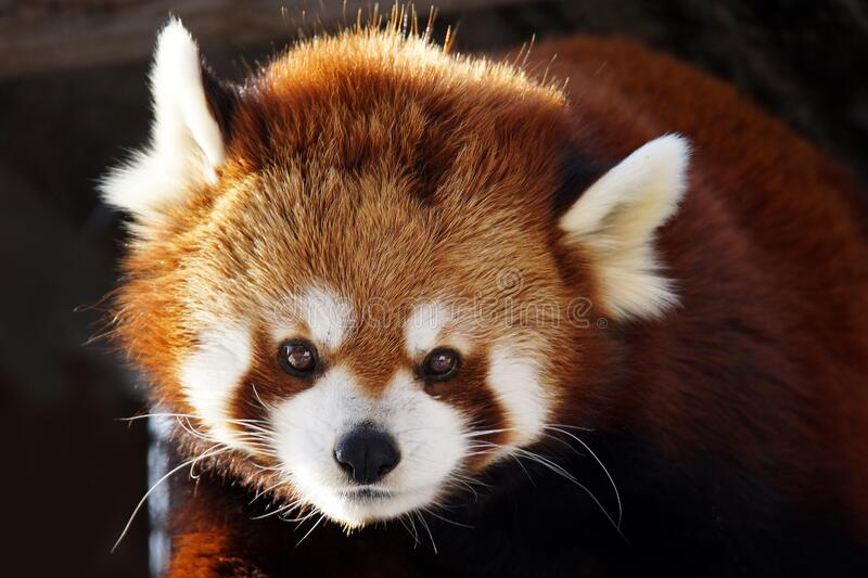 Red panda portrait. Red panda,Ailurus fulgens, portrait looking at camera royalty free stock image