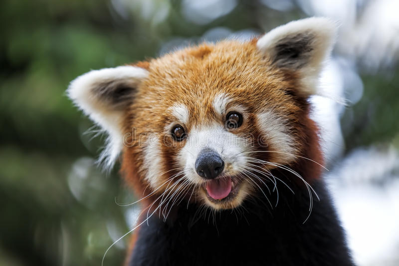 Red Panda. Portrait of a Red Panda sitting on a branch royalty free stock images
