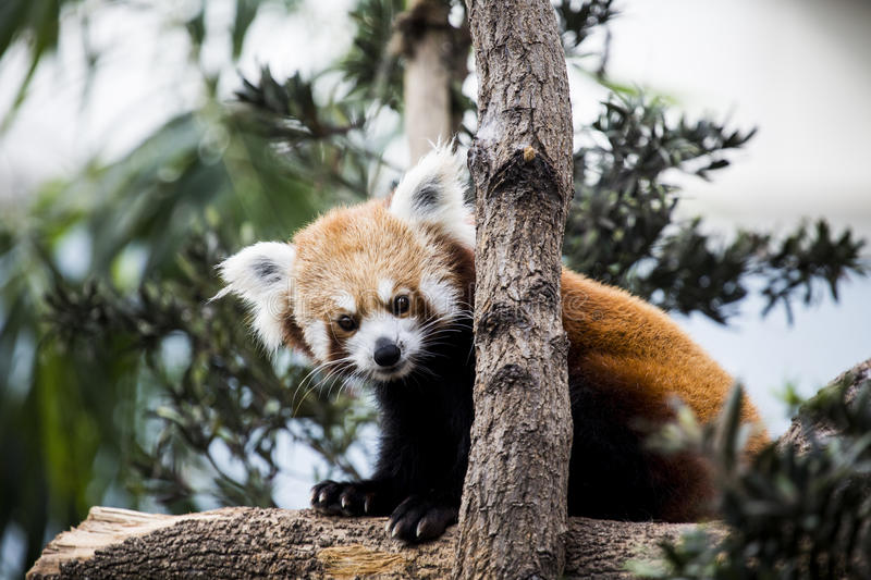 Download Red panda stock image. Image of cute, whisker, cuddle - 39941553