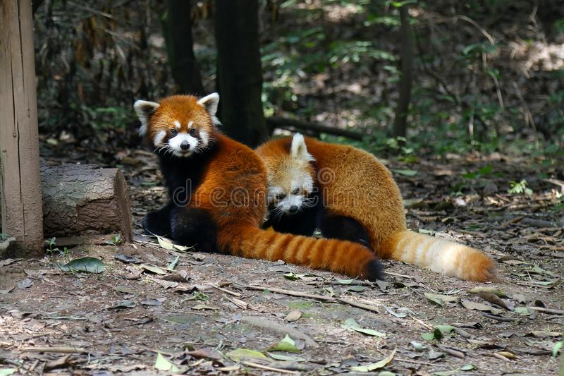 Red panda. In the rainforest stock photography