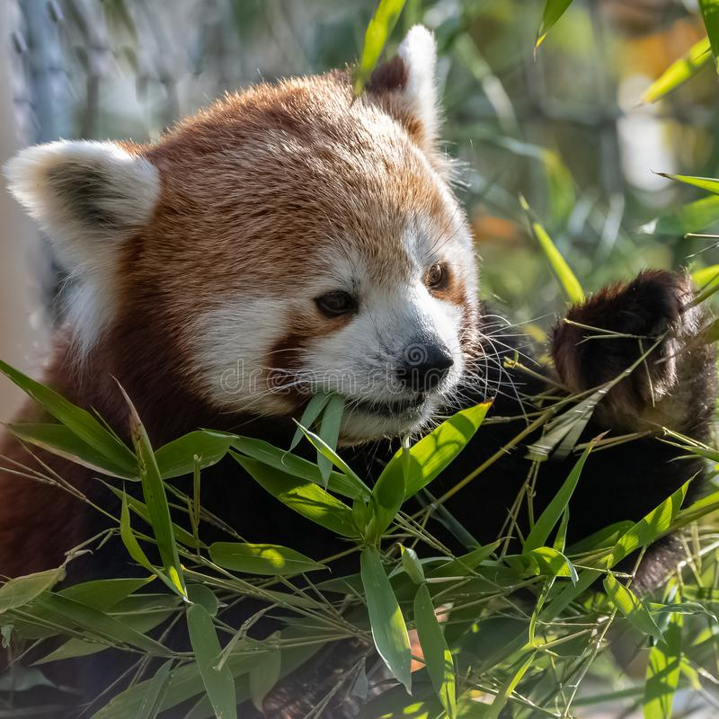 Red panda. Eating bamboo, portrait of a cute animal stock photography
