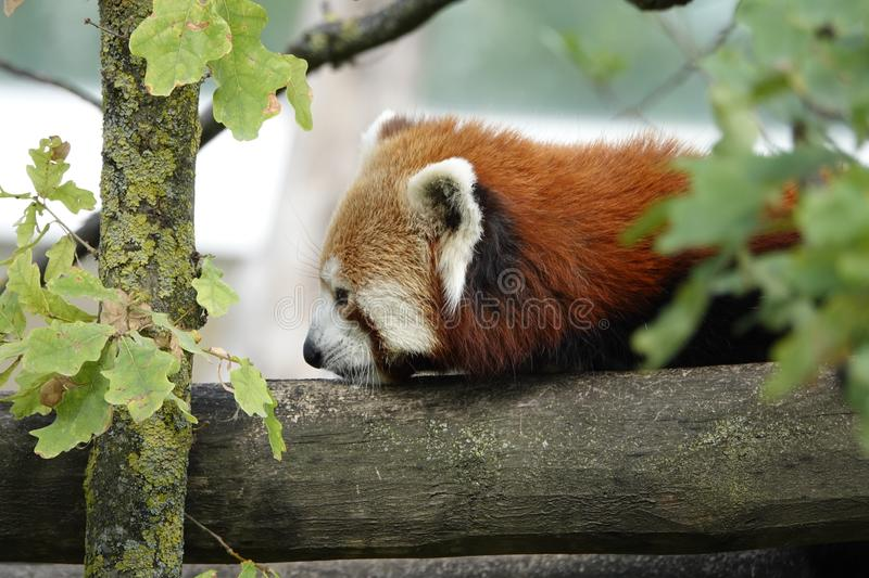 Red panda. A red panda resting on wood royalty free stock image
