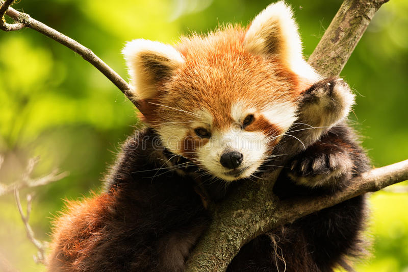 Red Panda Resting. In branch of tree royalty free stock photography