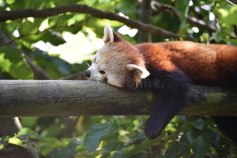 Red panda resting on a tree royalty free stock image