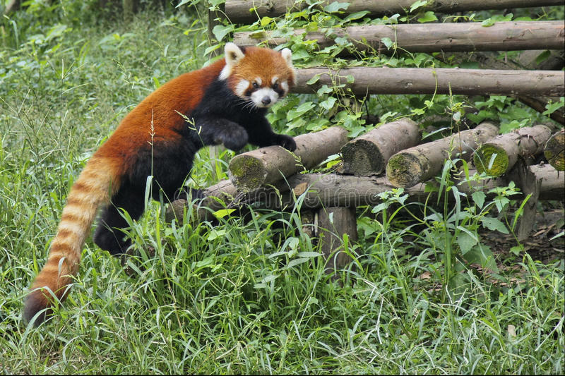 Red Panda in Sichuan, China royalty free stock images