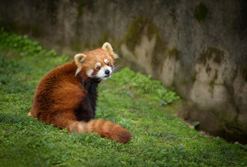 Red panda. Sitting at the bottom of a wall stock image