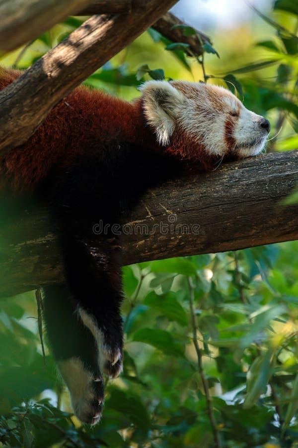 Red panda sleeping. Profile closeup portrait of a red panda sleeping royalty free stock photos