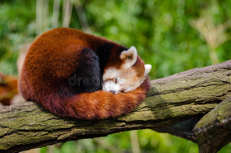 Red Panda Sleeping on Tree Branch royalty free stock photo