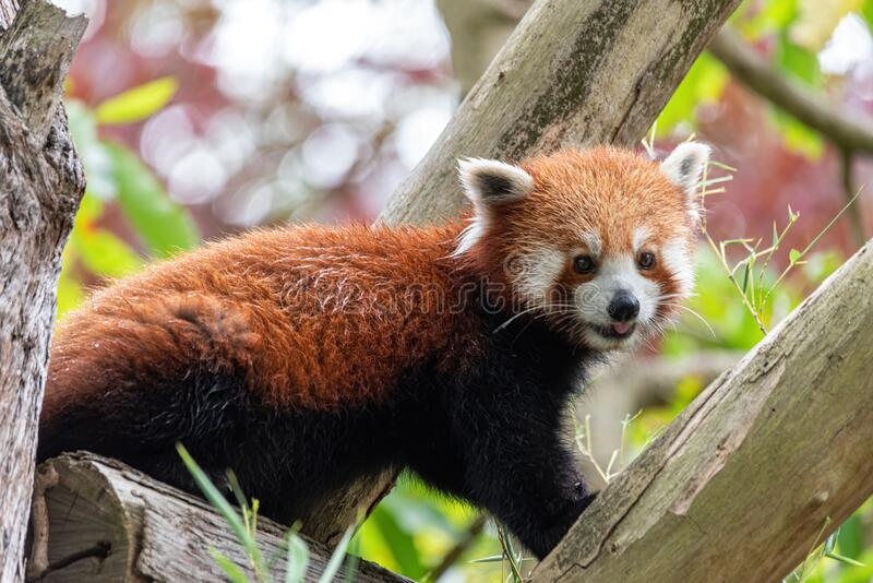 Red panda sticking tongue out in a tree. In a sydney zoo stock images