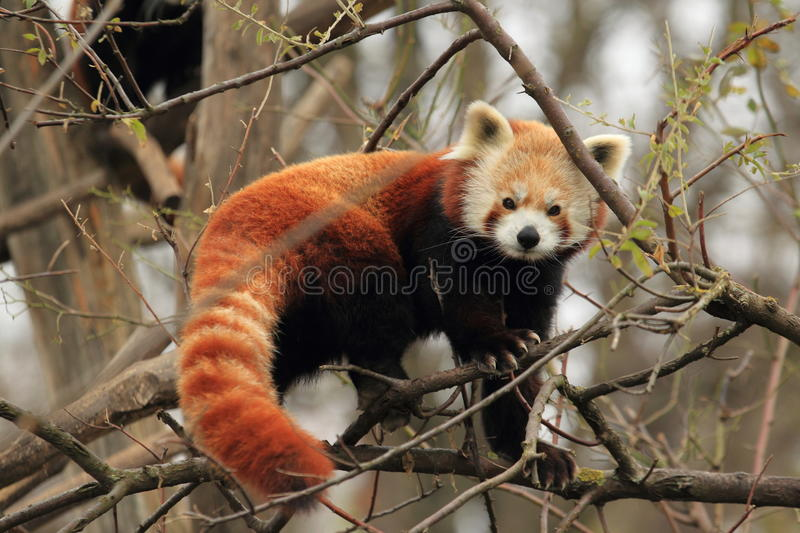 Red panda. Strolling on the tree royalty free stock image