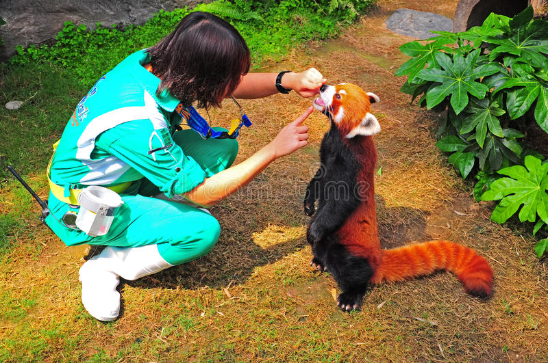 Download Red panda and trainer editorial image. Image of beast - 26512120