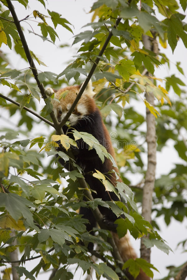 Download Red panda in tree stock photo. Image of closeup, leafy - 1404872