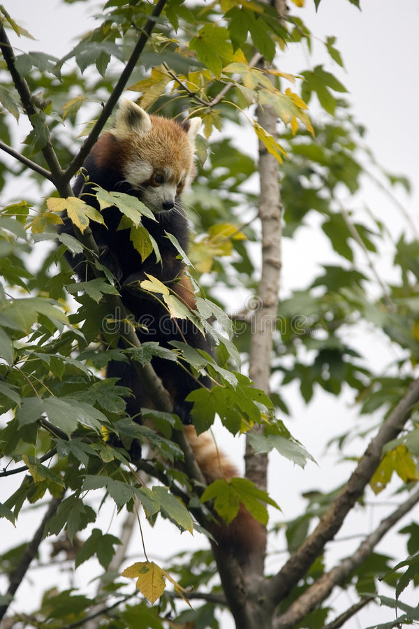 Download Red Panda in a tree stock image. Image of wild, panda - 1404877