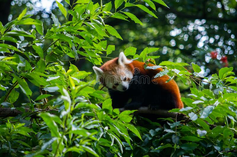 A Red panda. Red panda in the tree royalty free stock images