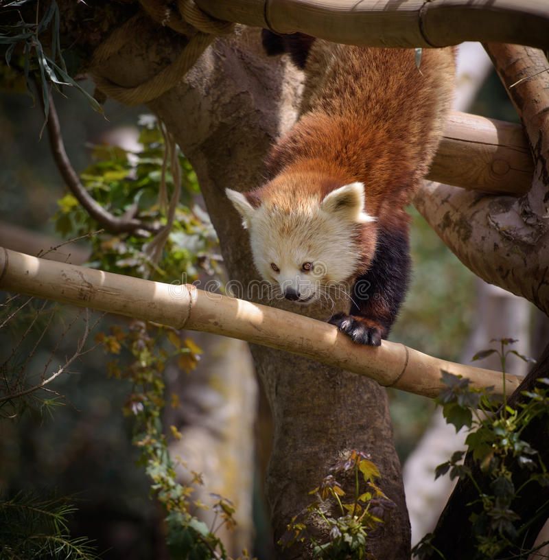 Red panda on a tree royalty free stock images