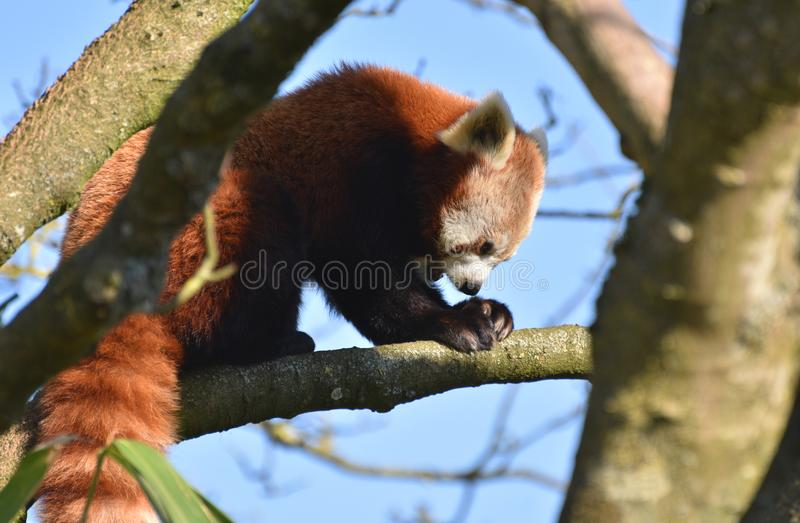 Red Panda in a tree. A red panda in a tree grabbing food with its paws stock photos