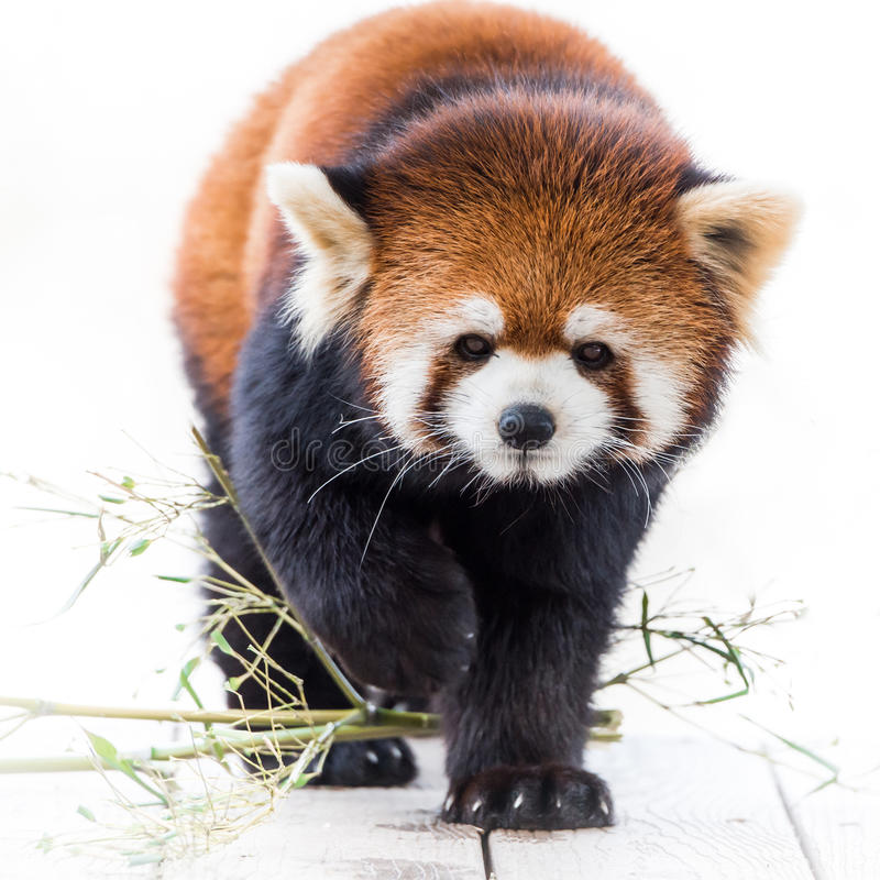 Red Panda V. Frontal portrait of Red Panda stock photography