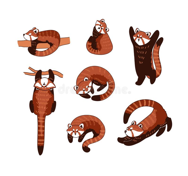 Red panda vector illustration. Set of cute drawings of Ailurus fulgens playing in different poses vector illustration