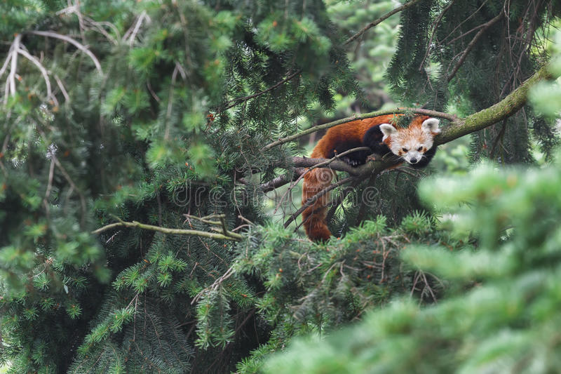 Red panda vulnerable species of animals resting on conifer tree branches stock images