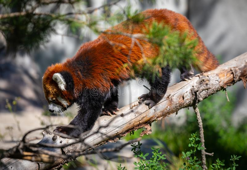 Red panda in zoo environment royalty free stock images