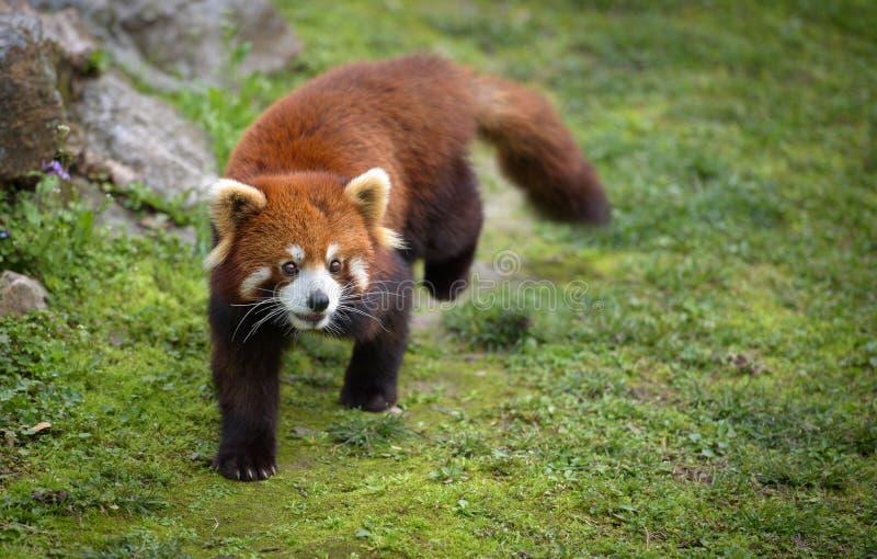 Red panda walking stock photos