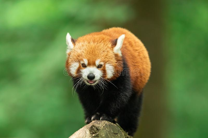 Red panda walking on the tree. France royalty free stock photo